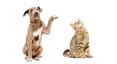 Playful puppy pitbull and cat Scottish Straight Stock Photo