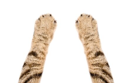 Paws of a cat Scottish Straight