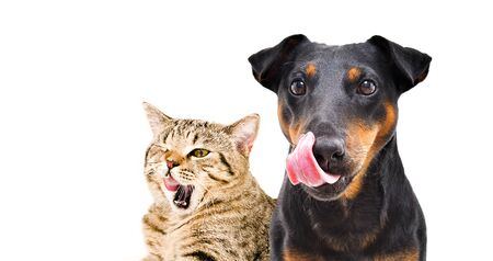 Portrait of funny dog breed Jagdterrier and cheerful cat Scottish Straight licks