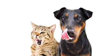 Ritratto di divertente cane di razza Jagdterrier e gatto allegro Scottish Straight licks