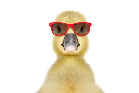 Portrait of a funny little gosling in red sunglasses, isolated on white Foto de archivo