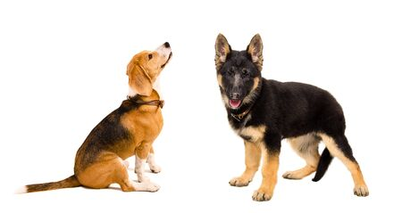 Beagle and German Shepherd puppy together isolated on a white