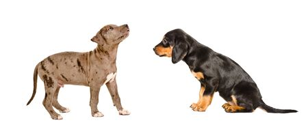 Puppies breed Pitbull and Slovakian Hound together isolated on white