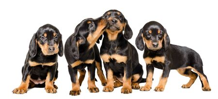 Four lovely puppies sitting together isolated on white Banco de Imagens