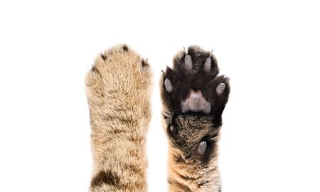 Paws of a cat Scottish Straight, closeup, top and bottom view, isolated on white