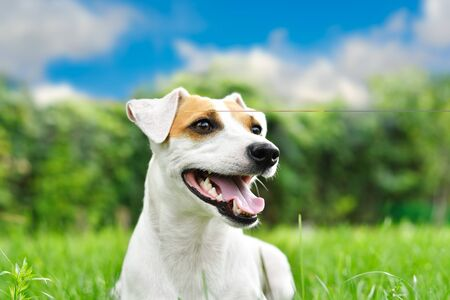 Portrait of a beautiful curious dog Jack Russell Terrier, closeup, outdoors