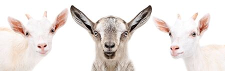 Portrait of a three cute little goat, closeup, isolated on white Banco de Imagens