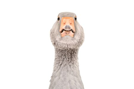 Portrait of a curious funny goose, closeup, isolated on white Reklamní fotografie