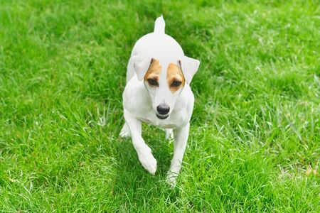 Dog Jack Russell Terrier walks on the grass