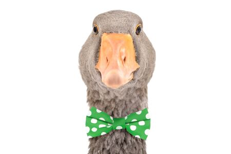 Portrait of a funny goose in a bow tie, isolated on white