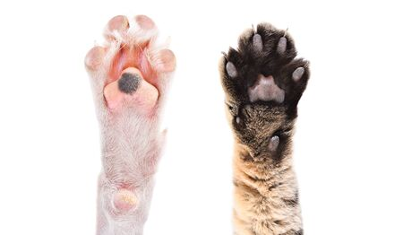 Two paws of dog and cat together isolated on white