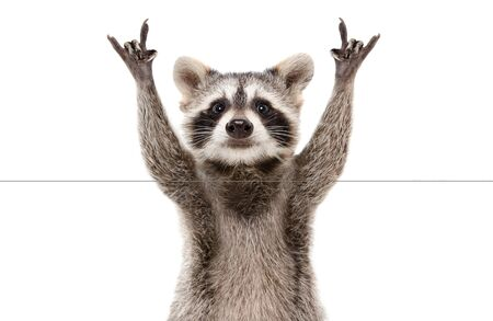 Funny cute raccoon showing a rock gesture isolated on white Фото со стока