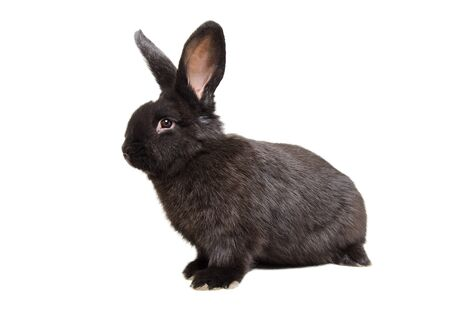 Curious black rabbit sitting isolated on a white Stock Photo