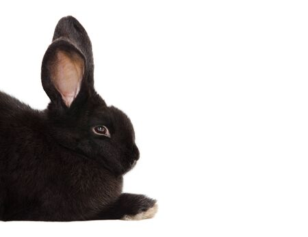 Portrait of a black rabbit isolated on white