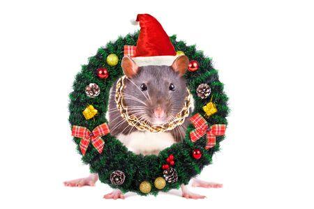 Portrait of a rat in a Christmas cap peeking out coniferous wreath, isolated on white
