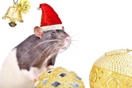 Portrait of a rat in a Christmas cap with christmas toys isolated on white Stockfoto