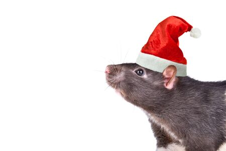 Portrait of a rat in a Christmas cap isolated on white Stockfoto