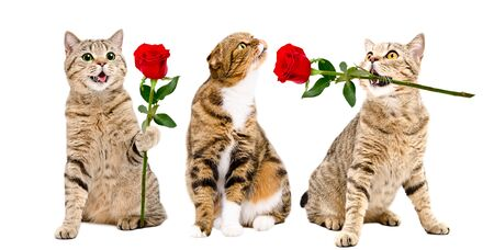 Two cats presents a rose to a cat sitting isolated on white Stock Photo