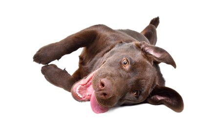 Funny playful Labrador puppy lying on his back isolated on a white