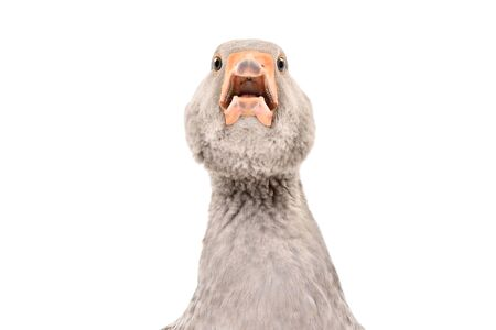 Portrait of a funny adorable goose, closeup, isolated on white background Stock Photo
