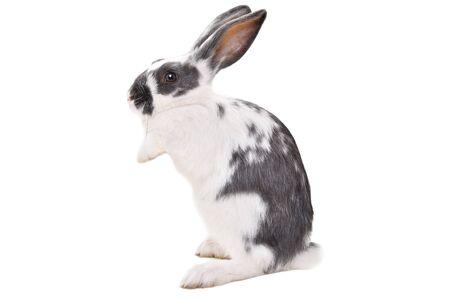 Simpatico coniglio maculato in piedi sulle zampe posteriori isolato su sfondo bianco Archivio Fotografico