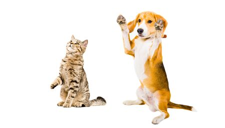 Funny Beagle dog and cat Scottish Straight isolated on white background