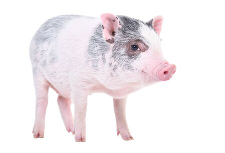 Little Vietnamese piggy standing isolated on white background Stock Photo