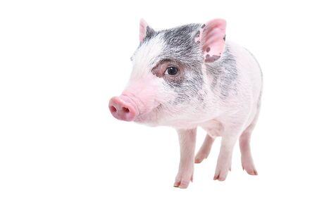 Lustiges kleines vietnamesisches Schweinchen, das isoliert auf weißem Hintergrund steht
