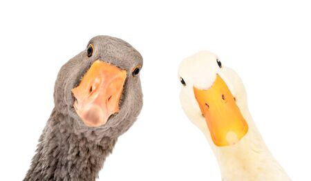 Portrait of a funny goose and duck, closeup, isolated on a white background Foto de archivo