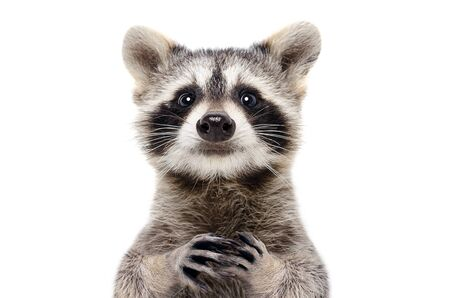 Portrait of a cute funny raccoon, closeup, isolated on a white