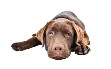 Sad  puppy lying isolated on a white Stock Photo