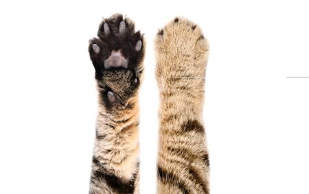 Paws of a cat Scottish Straight, isolated on white
