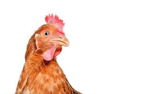 Portrait d'un poulet curieux, gros plan, isolé sur fond blanc