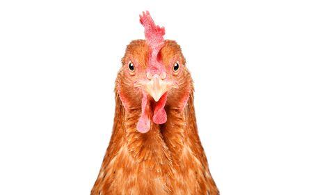 Portret van een mooie grappige kip, close-up, geïsoleerd op een witte achtergrond Stockfoto