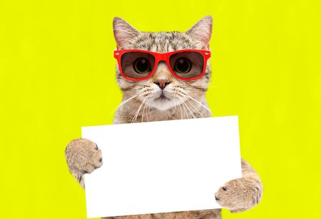 Portrait of a cat Scottish Straight in sunglasses with a banner in paws on a yellow background