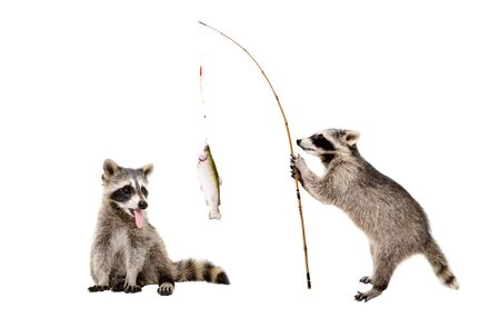 Funny raccoons with a trout caught on a fishing rod, isolated on white background