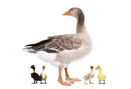 Goose standing with a goslings isolated on white background
