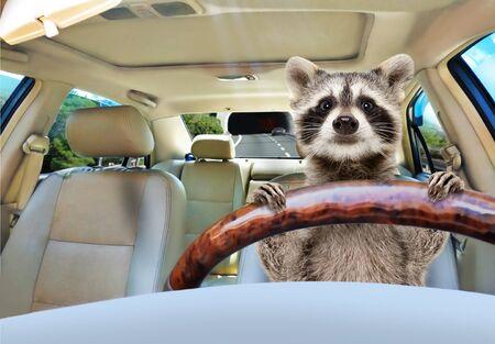 Porträt eines lustigen Waschbären, der ein Auto fährt Standard-Bild