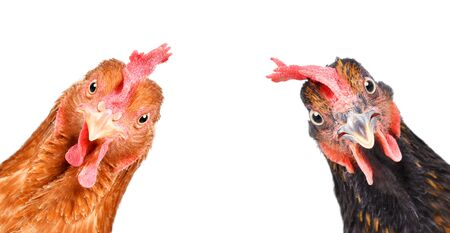 Portrait of a funny chickens, closeup, isolated on white Foto de archivo