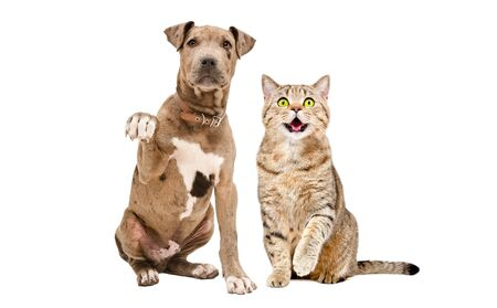 Funny cute puppy Pitbull and Scottish Straight cat sitting together isolated on white background