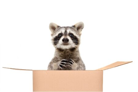 Funny raccoon sitting in a box isolated on white background