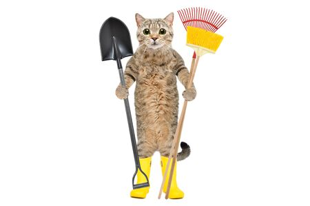 Cat standing in rubber boots with garden tools isolated on white background