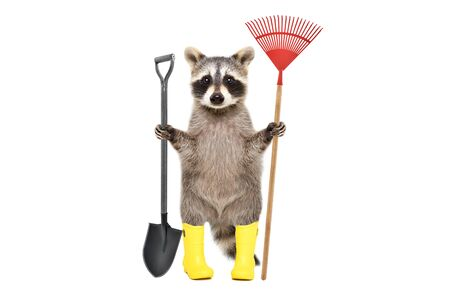 Raccoon in rubber boots standing with a shovel and a rake isolated on a white background