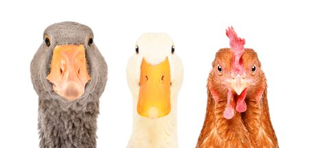 Portrait of a goose, duck and chicken isolated on a white background