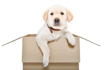 Adorable labrador puppy sitting in a cardboard box isolated on white background Standard-Bild