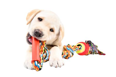Funny Labrador puppy chewing a toy for dogs isolated on white background 版權商用圖片