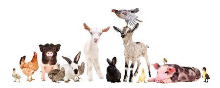 Groupe d'animaux de ferme ensemble isolé sur fond blanc