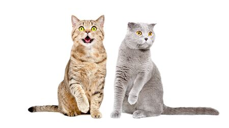 Two cats Scottish Straight and Scottish Fold sitting together with raised paws isolated on white background