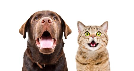Portrait of a young Labrador and funny cat Scottish Straight, closeup, isolated on a white background Imagens
