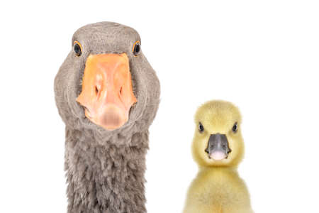 Portrait of a goose and gosling together isolated on white Фото со стока